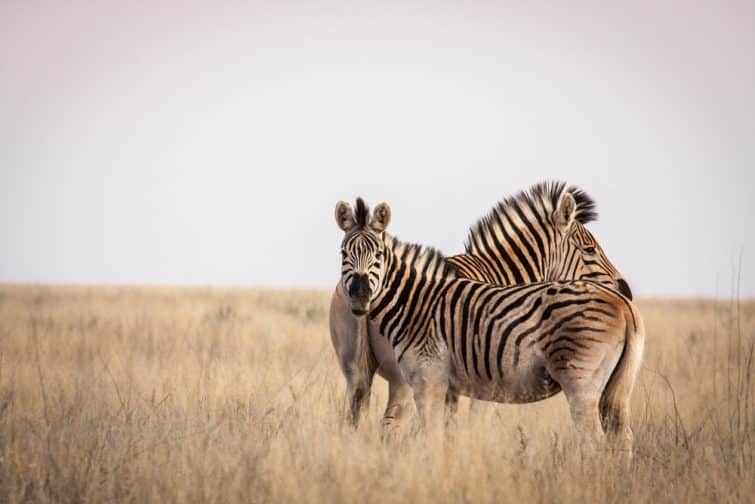Two zebra ( Equus quagga ) on a grass plain in the Mokala National Park in the Northern Cape of South Africa