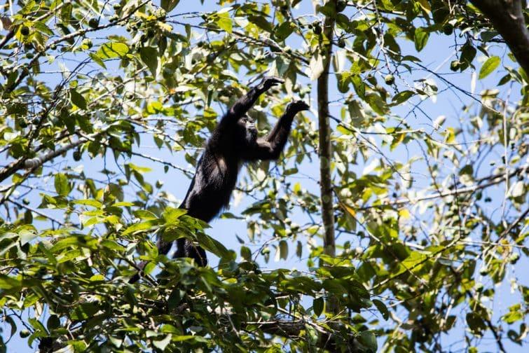 Un singe hurleur dans le sanctuaire des singes hurleurs