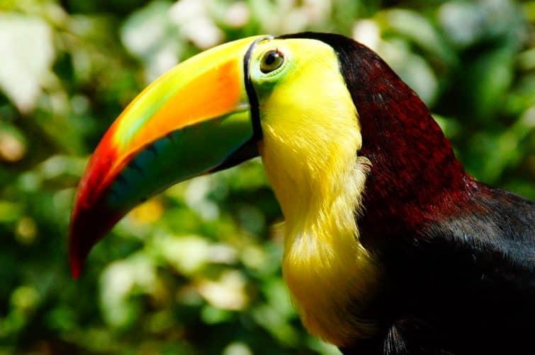 Un toucan du zoo de Belize City