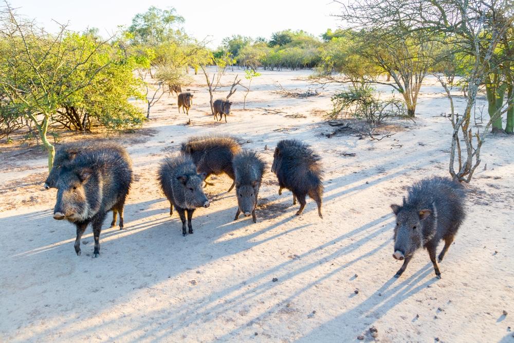 Pécari du Chaco, Paraguay