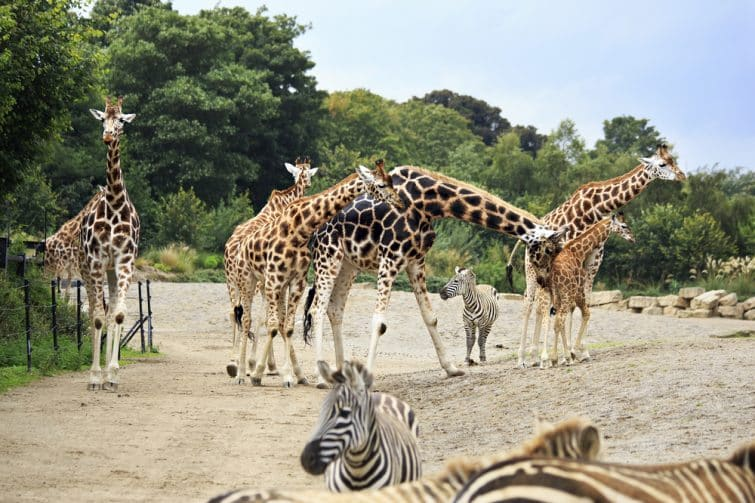 Girafes et zèbres au zoo de Dublin