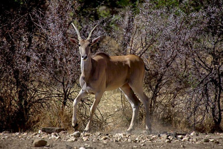 Animal sauvage dans la réserve de Daan Viljoen, Namibie