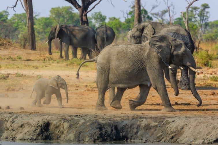Eléphants à Khaudum National Park, à la frontière entre la Namibie et le Botswana