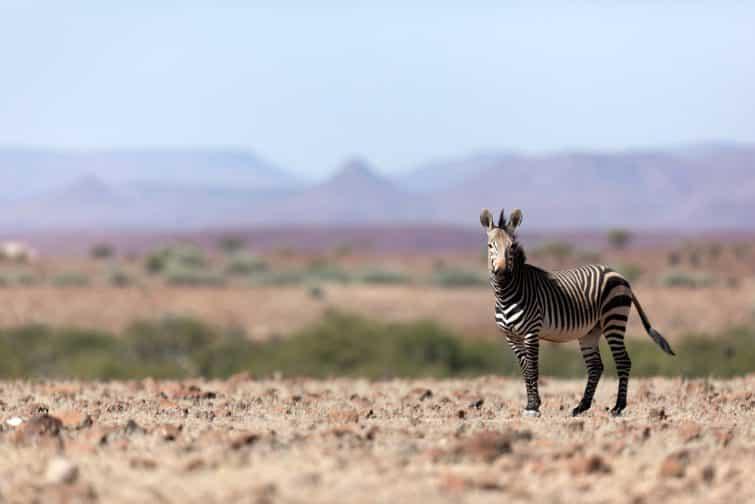Zèbre sur le territoire de Palmwag, Namibie