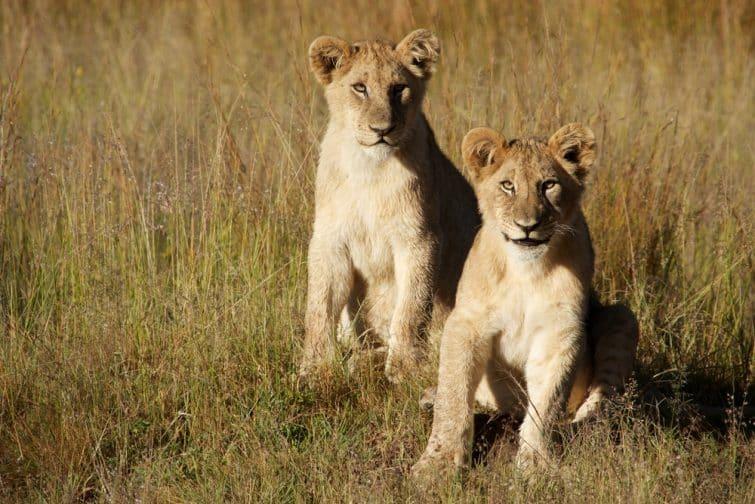 Lionceaux au Plateau du Waterberg