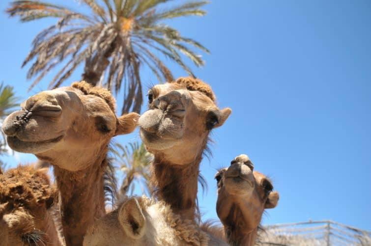 Chameaux au zoo d'Oasis Park sur l'une des îles Canaries