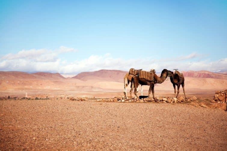 Chameaux dans les montagnes de l'Atlas