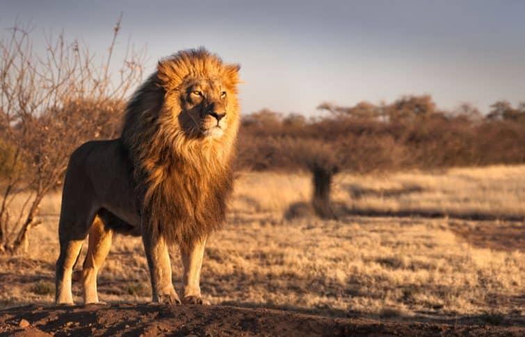 Lion dans le désert de Kalahari en Namibie