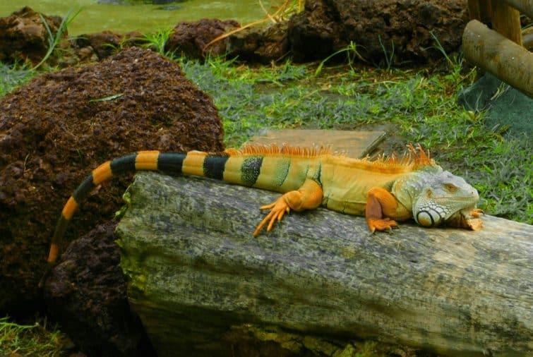 Oasis Park, et ses iguanes