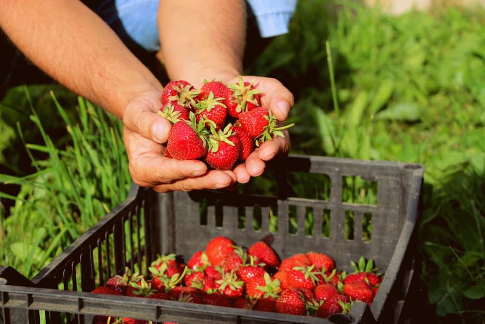 Ramassage de fraises en PVT