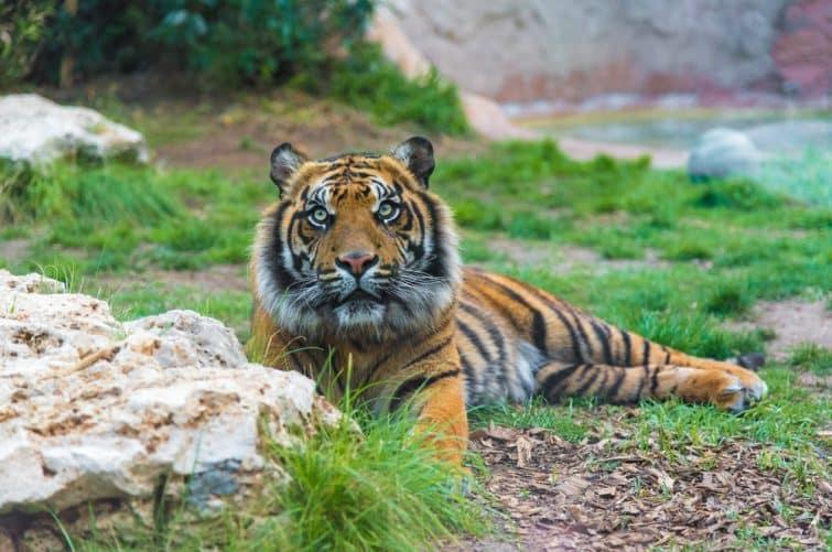 Un tigre du Bioparco de Rome