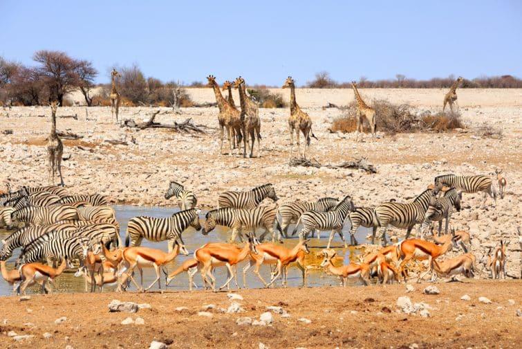 Groupe d'animaux sauvages pendant un safari à Etosha
