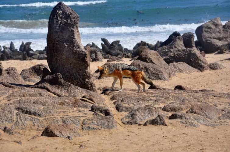 Chacal sur la plage, côte Skeleton, Namibie