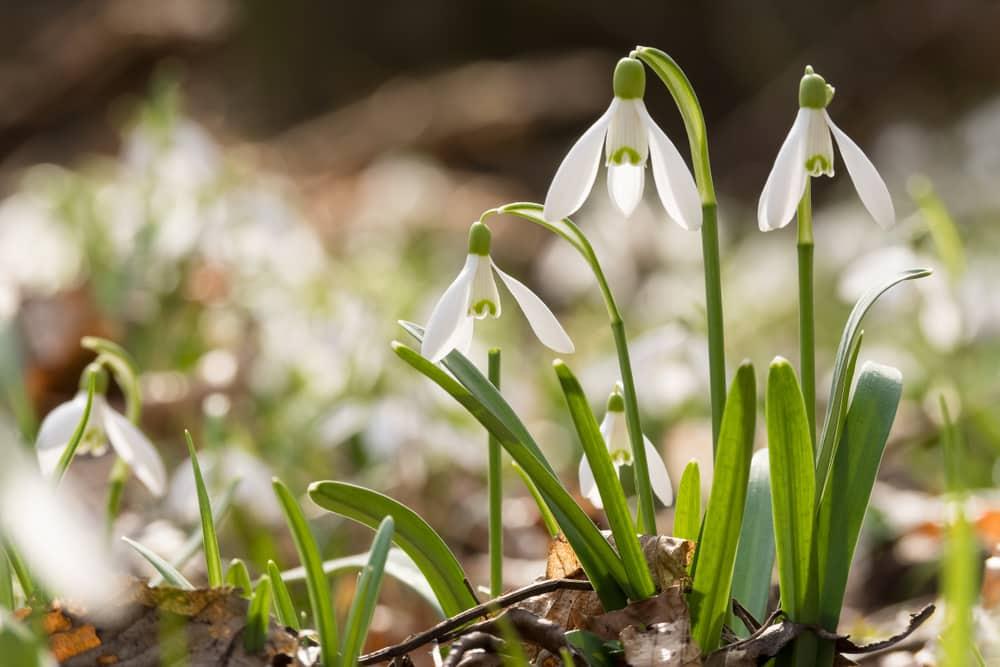Les fleurs de neige, offertes le 14 février