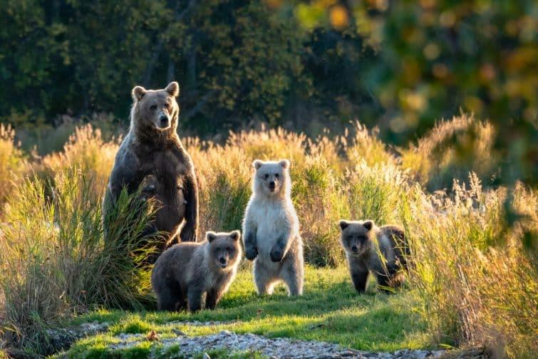 Grand ours brun d'Alaska femelle adulte avec trois mignons oursons debout sur un terrain herbeux dans le Brooks River, Katmai National Park, Alaska, États-Unis