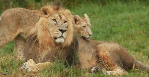 Lion et lionne au parc animalier Le Pal