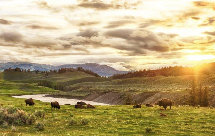 Troupeau de buffles adultes et de bébés (bison) au coucher du soleil. Parc national de Yellowstone, Etats-Unis