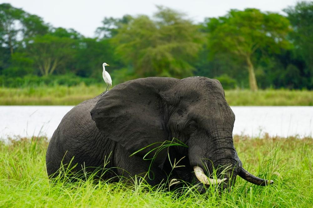 Éléphants du Parc National du Lac Malawi, Malawi.