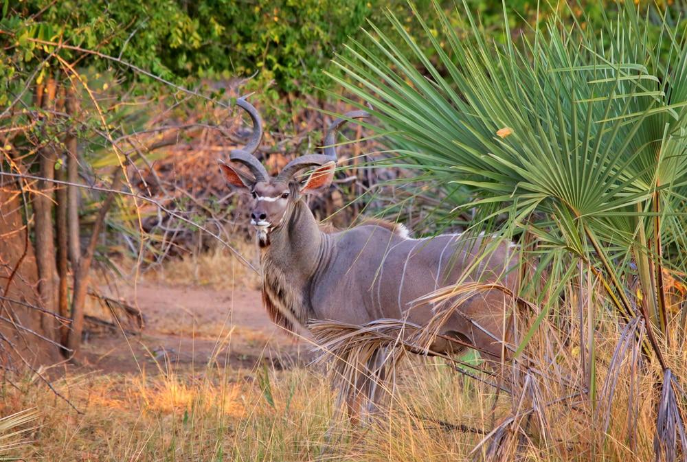 Antelope kudu in Liwonde National Park. Malawi