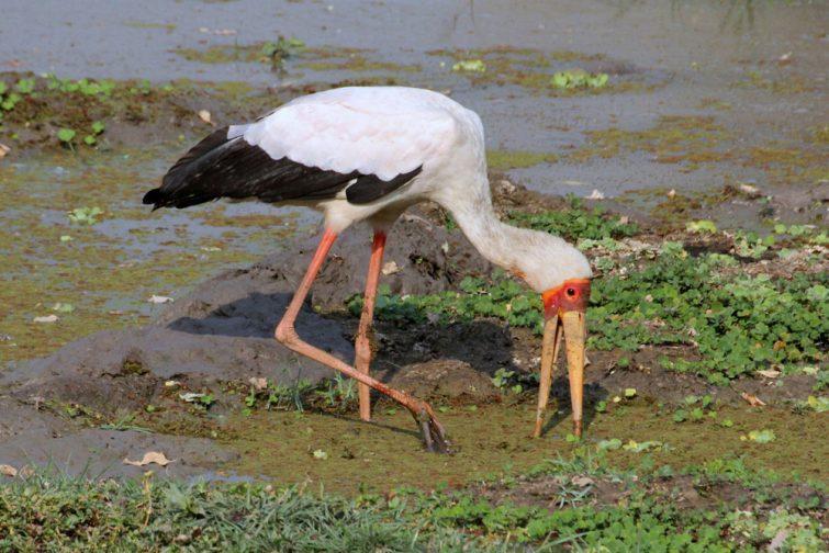 Oiseau à Bangweulu, Zambie