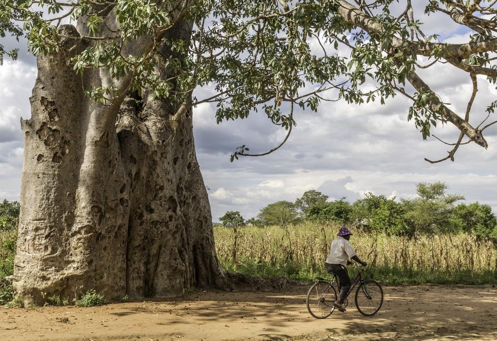 Baobab Malawi likoma
