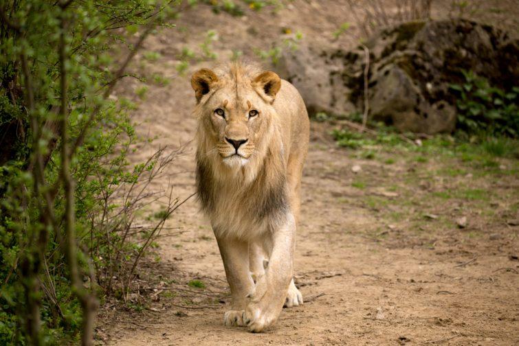 Lion dans le parc national de Kafue, Zambie
