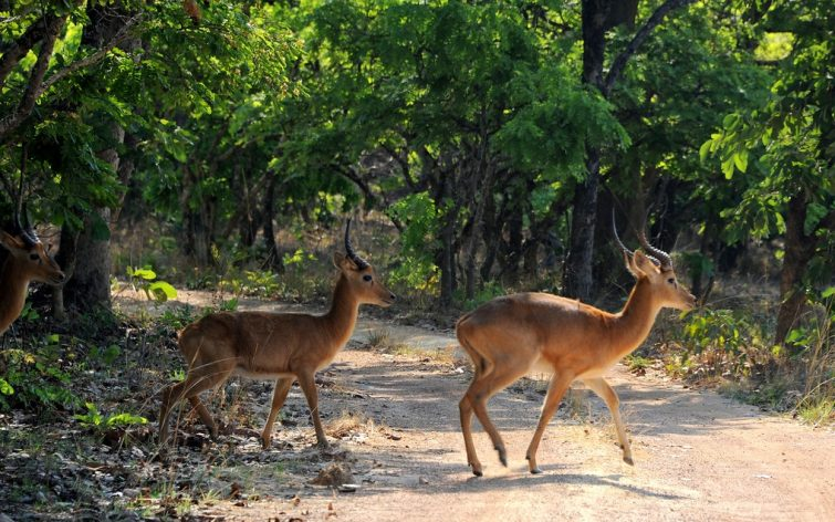 Antilopes, parc national de Kasanka, Zambie