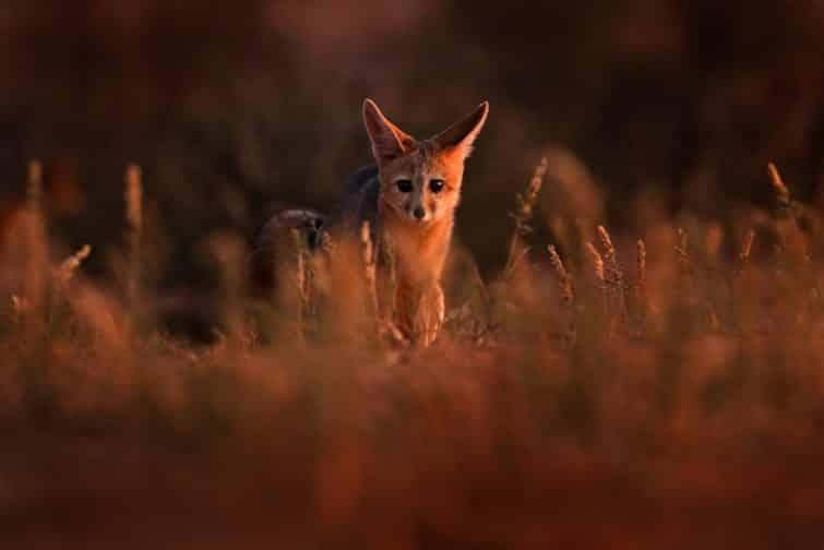 Safaris à faire en Afrique du Sud : Kgalagadi