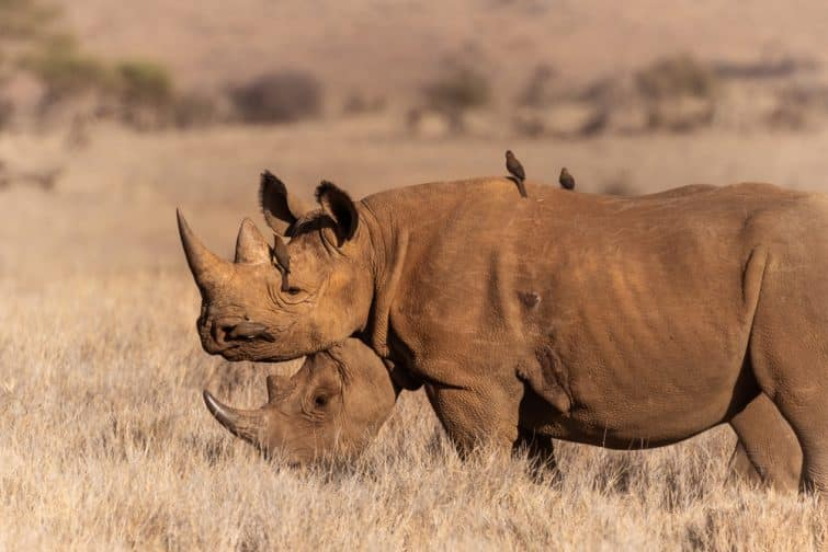 Faire un safari au Kenya dans e parc de Lewa Downs