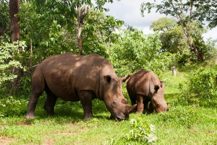 Rhinocéros blanc, Mosi–Oa–Tunya, Zambie