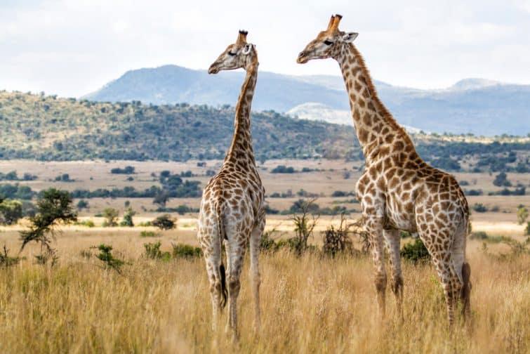 Safaris à faire en Afrique du Sud : Parc National de Pilanesberg