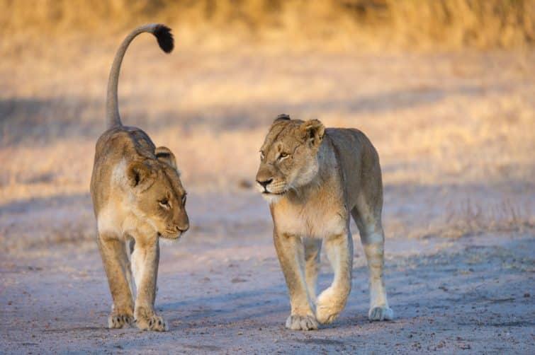 Une lionne adulte et son bébé sous-adulte marchant à la première lumière dorée du matin., Sabi Sand, Afrique du Sud
