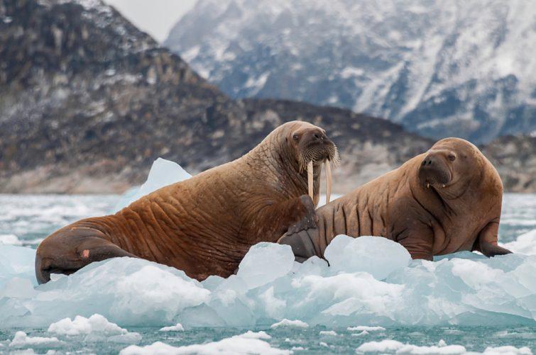 Walrus et son chiot flottant sur la glace dans un fjord, dans l'est du Groenland.