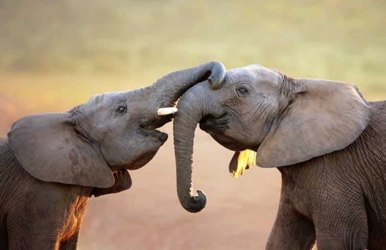 Eléphants, Addo National Park, Afrique du Sud