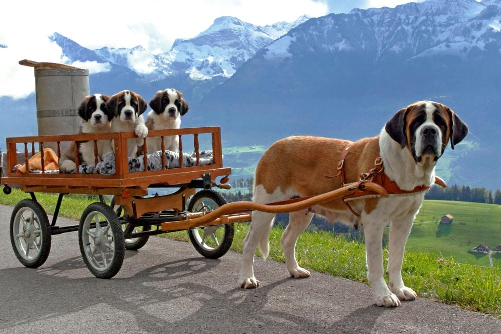 Voyager avec son chien en Suisse