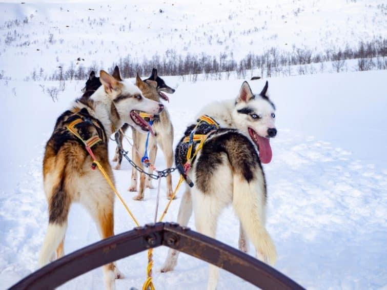 Monter sur un chien de traîneau, Tromsø