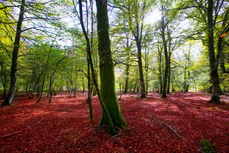 La forêt d'Iraty en Automne, Espagne