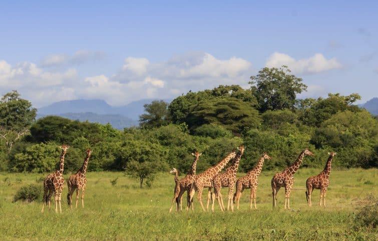Groupe de girafes dans le parc national de Méru