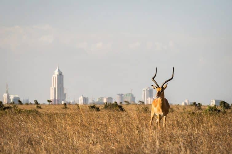Faire un safari dans le parc national de Nairobi au Kenya