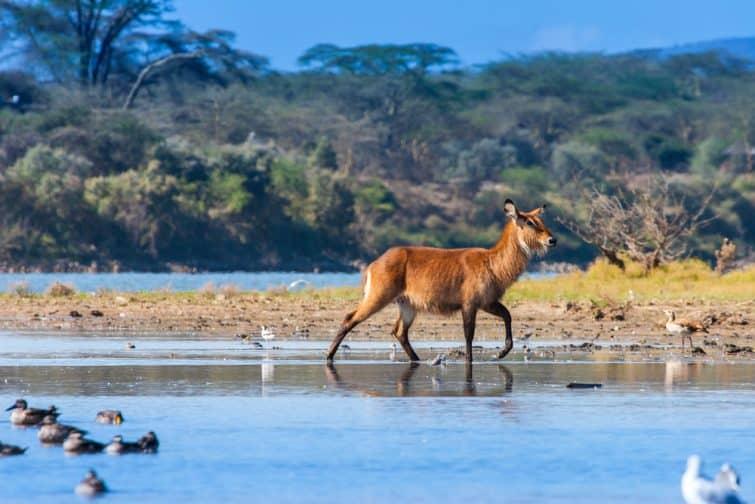 Animal sauvage sur le lac de Naivasha, Kenya