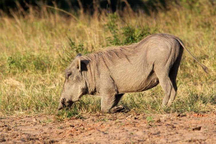 Phacochère dans la réserve naturelle de Shimba Hills, Kenya