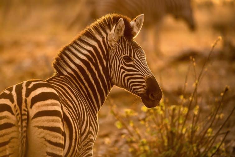 Portrait d'un zèbre, réserve de Madikwe, Afrique du Sud