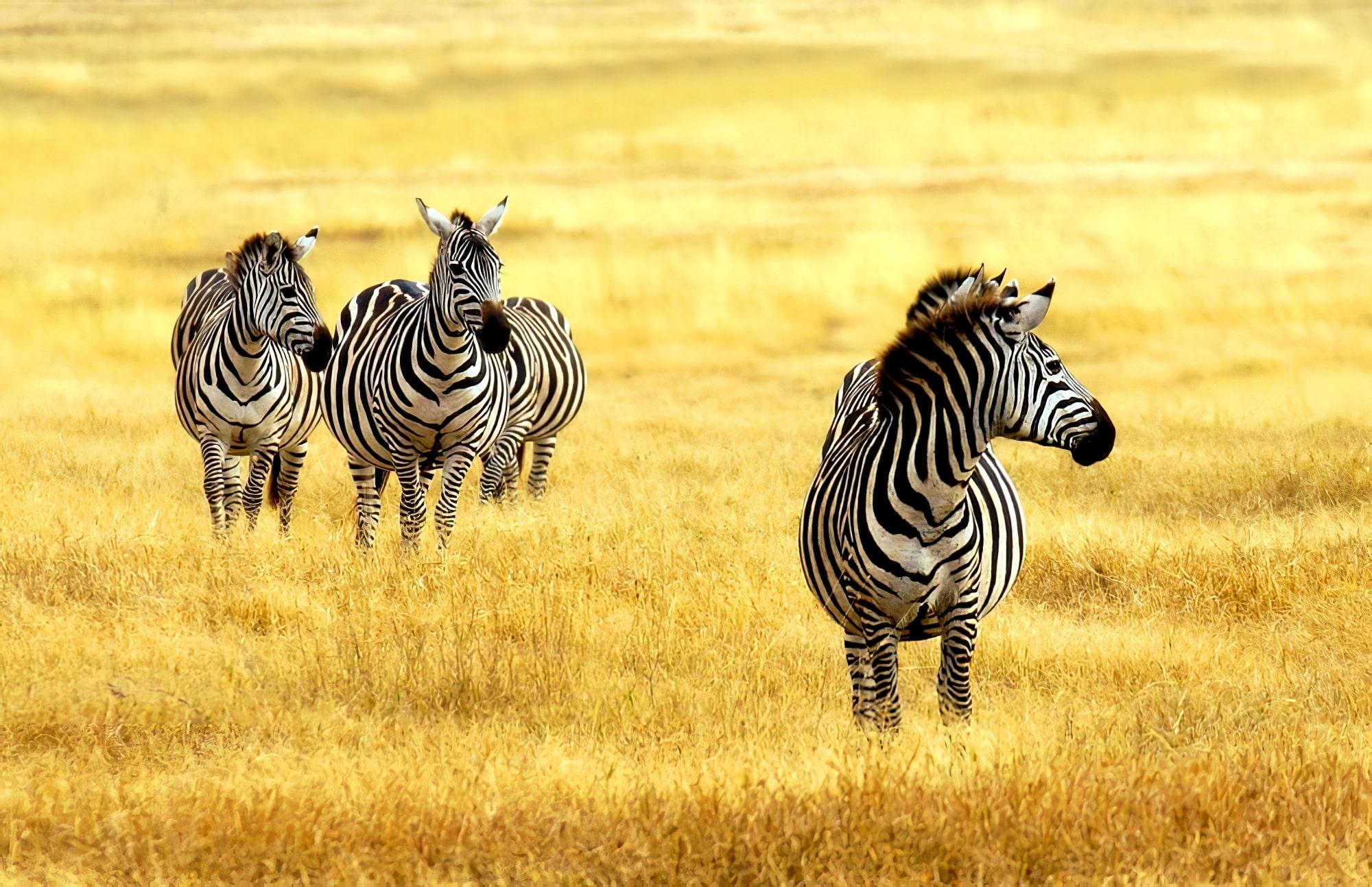 Zèbres dans le parc national de Méru, Kenya