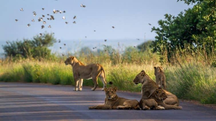 Lions dans le parc national de Kruger, Afrique du Sud