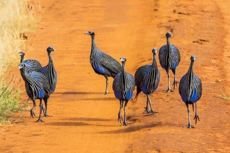 Pintades dans le parc national de Tsavo, Kenya