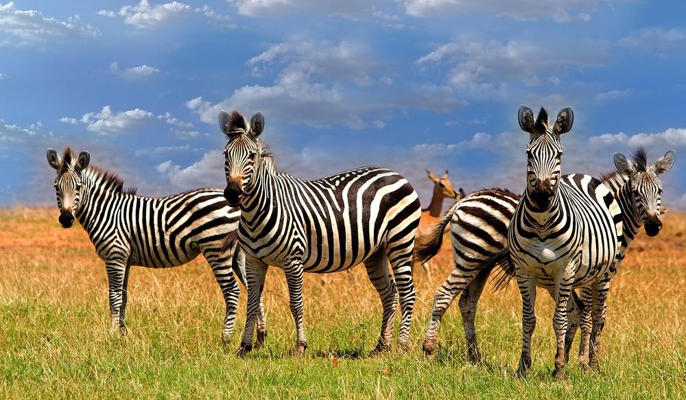 Éblouissant de Zebras (Equus quagga), situé dans les plaines verdoyantes à côté du lac Kariba, dans le parc national de Matusadona Zimbabwe