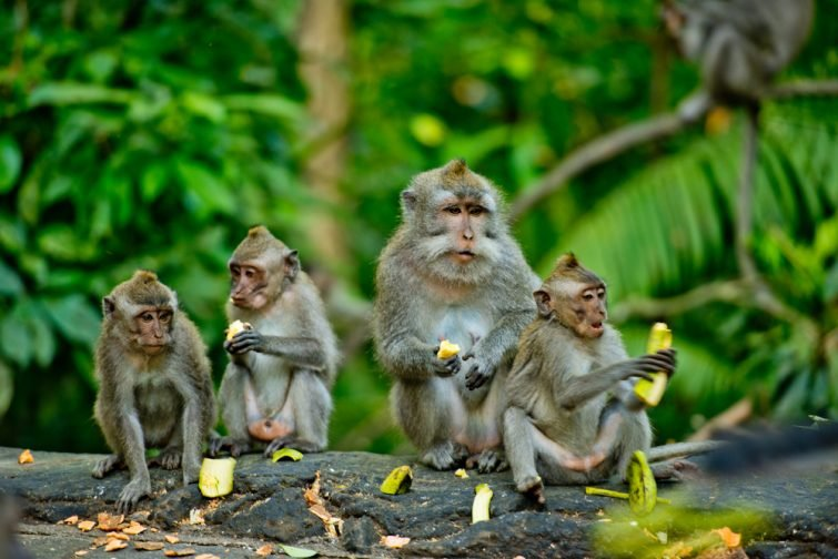 Des singes adultes s'assoient et mangent des fruits de banane dans la forêt. Forêt de singes, Ubud, Bali, Indonésie.