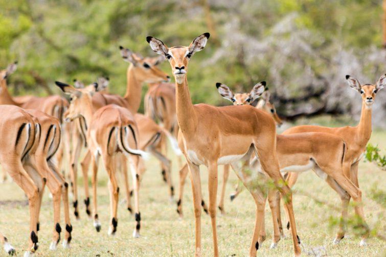 Groupe d'impalas dans le Parc national de Mikumi safari en Tanzanie