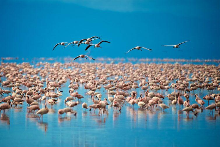 Les flamants roses du lac Manyara safari en Tanzanie
