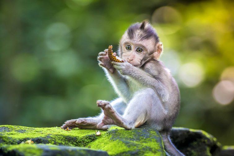 Petit singe-bébé dans la forêt de singes à Ubud, Bali, Indonésie